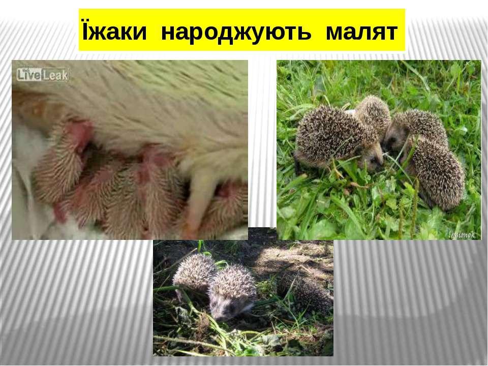 Їжаки народжують малят