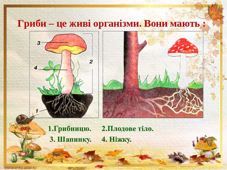 Гриби – це живі організми. Вони мають :