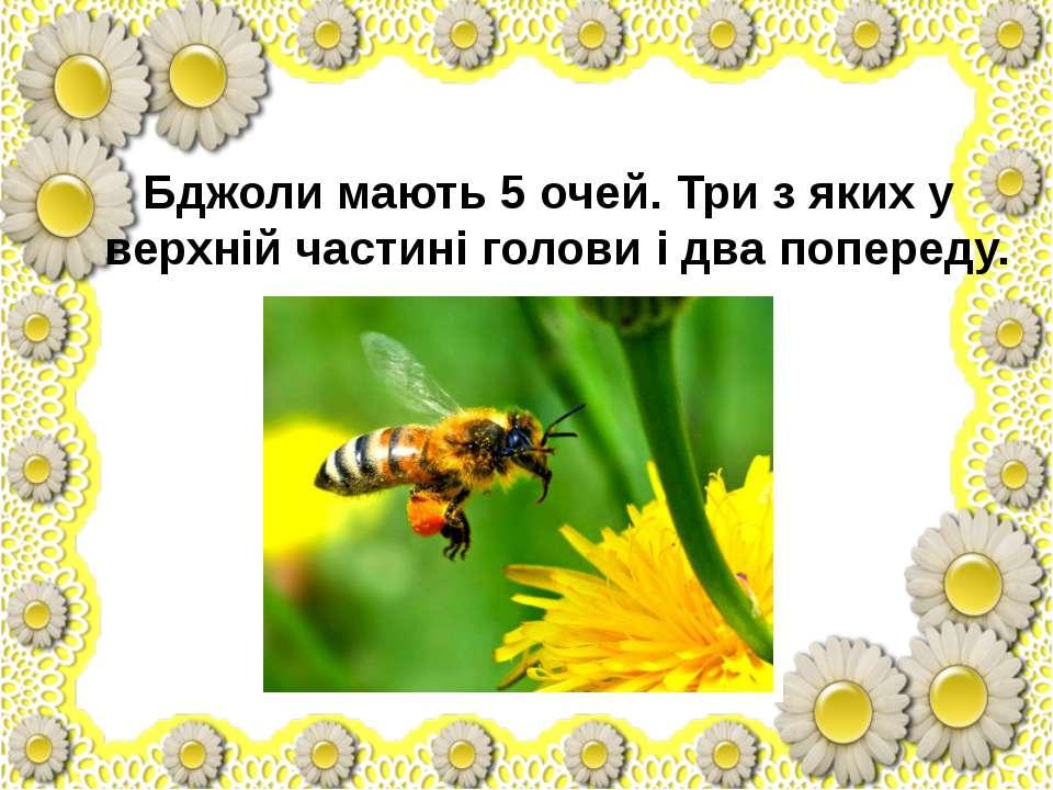 Бджоли мають 5 очей. Три з яких у верхній частині голови і два попереду.