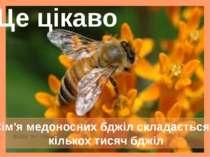 Сім'я медоносних бджіл складається з кількох тисяч бджіл Це цікаво