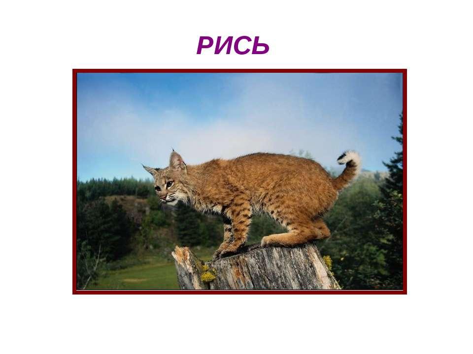 РИСЬ Рись на дереві сидить. Може стрибнути умить. Дуже грізна кішка рись. Рис...