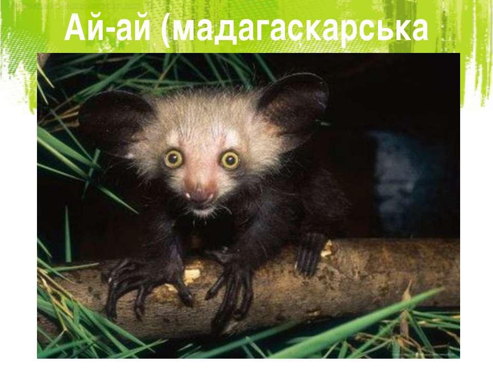 Ай-ай (мадагаскарська руконіжка)