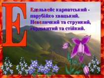 Едельвейс карпатський - парубійко хвацький. Невеличкий та стрункий, гордовити...