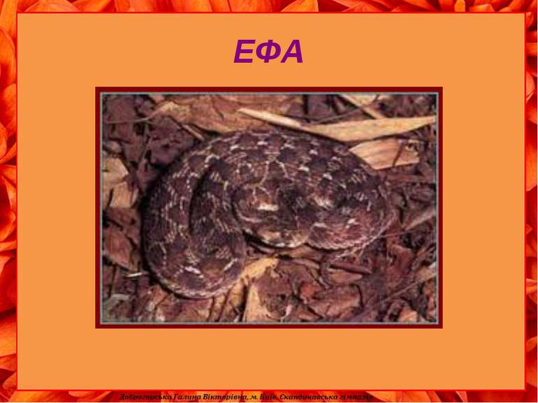 ЕФА Ефа - зла змія пустелі. Там, де піски, там, де скелі Кожен знати ефу муси...