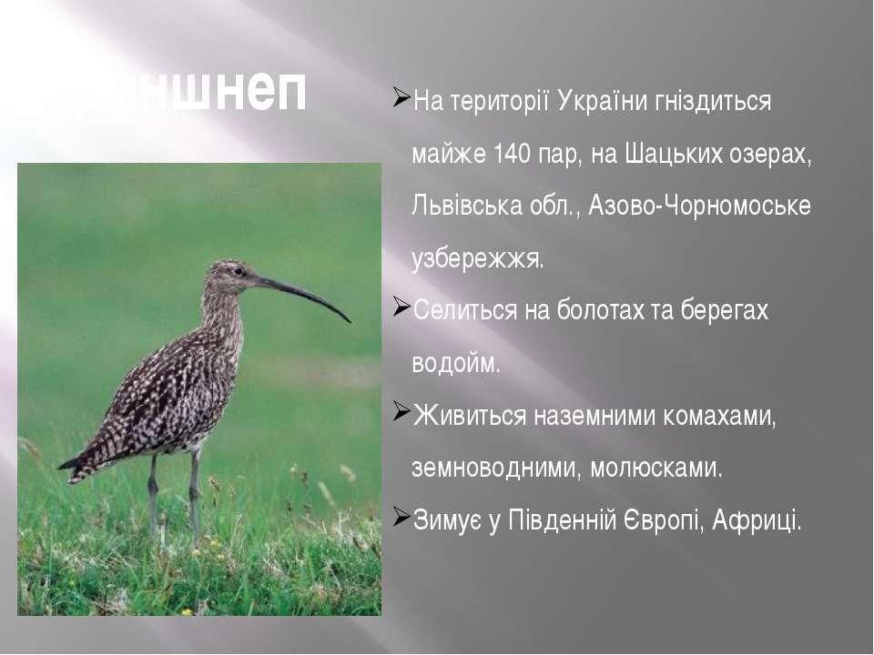 Кроншнеп На території України гніздиться майже 140 пар, на Шацьких озерах, Ль...