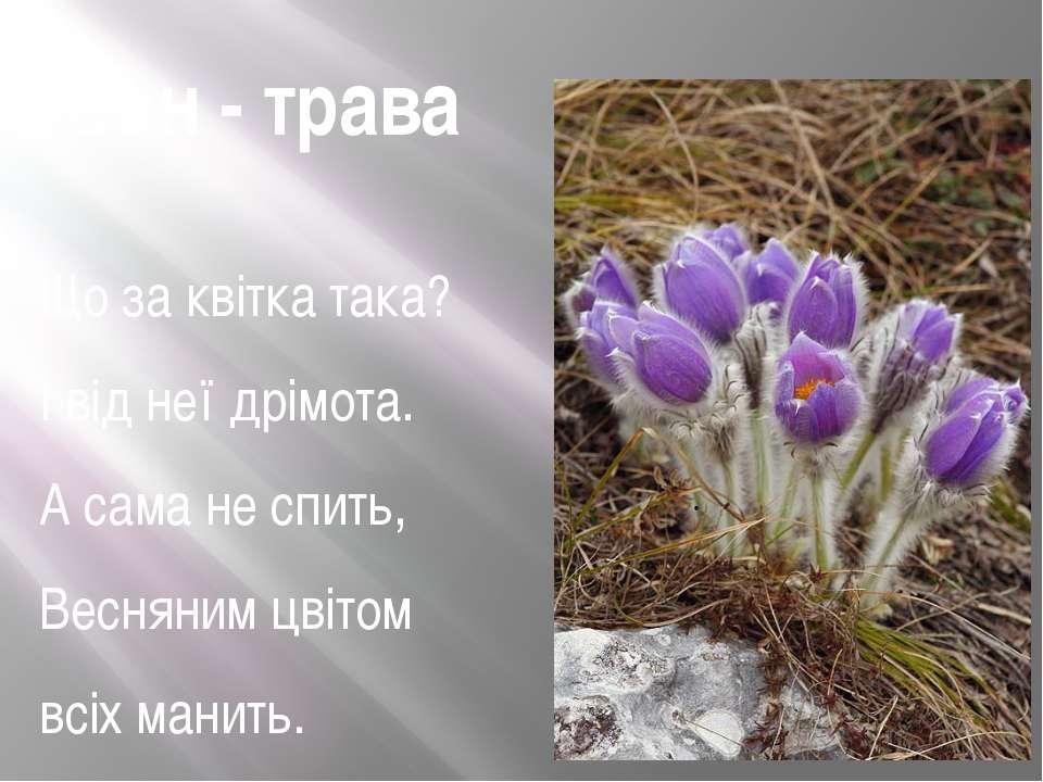Сон - трава Що за квітка така? І від неї дрімота. А сама не спить, Весняним ц...