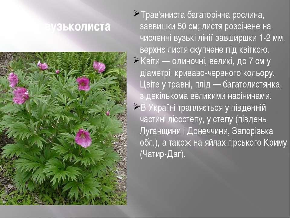 Півонія вузьколиста Трав'яниста багаторічна рослина, заввишки 50 см; листя ро...