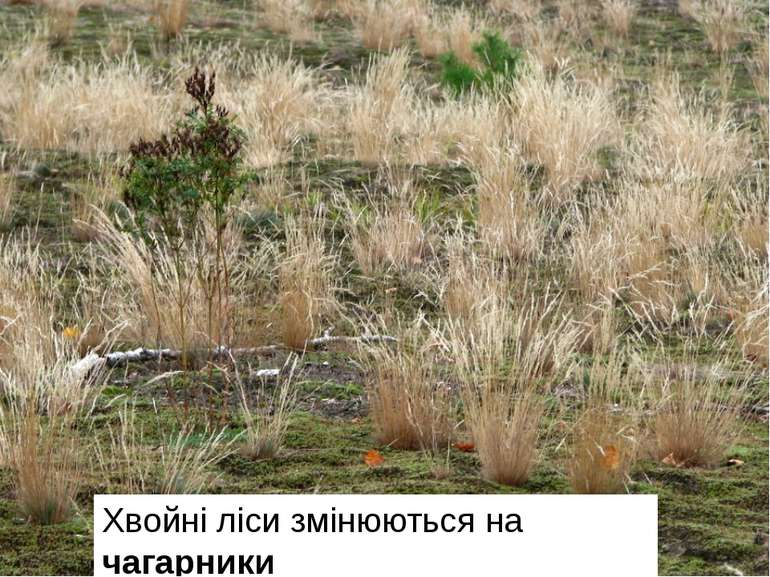 Хвойні ліси змінюються на чагарники