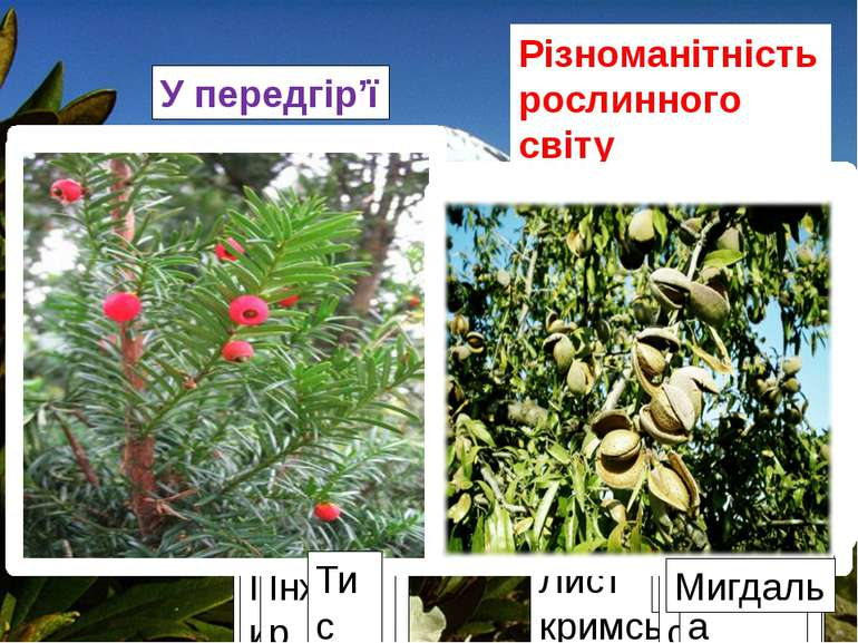 Різноманітність рослинного світу Кримських гір У передгір'ї Плющ Лист кримськ...
