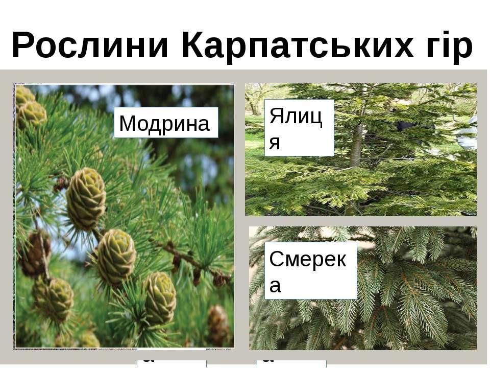 Рослини Карпатських гір Ялина Сосна Модрина Ялиця Смерека
