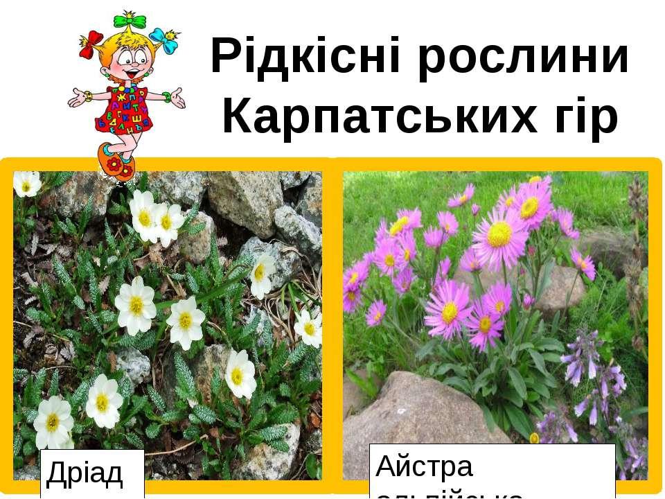 Рідкісні рослини Карпатських гір Едельвейс Аконіт Дріада Айстра альпійська