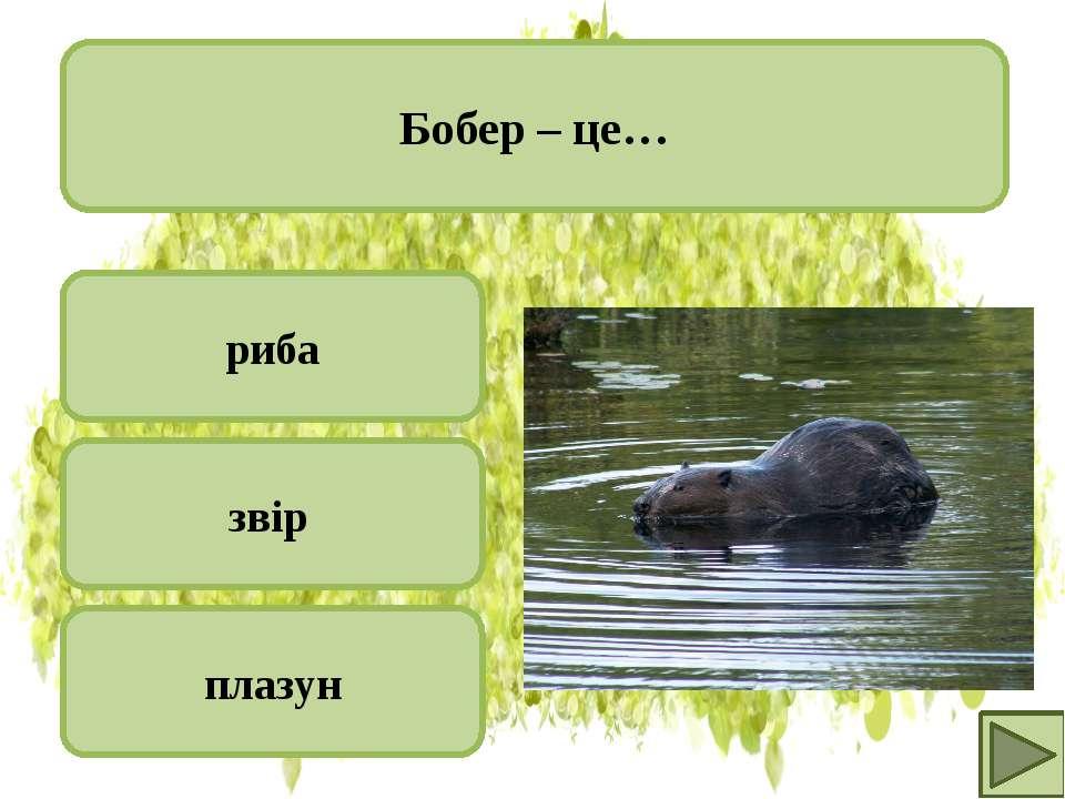 риба звір плазун Бобер – це…
