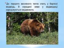 До першого весняного тепла спить у барлозі ведмідь. В середині зими у ведмеди...