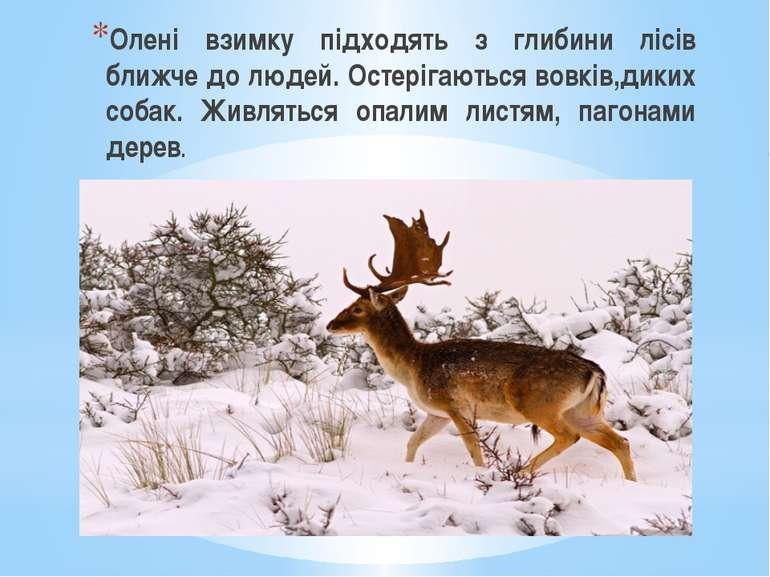 Олені взимку підходять з глибини лісів ближче до людей. Остерігаються вовків,...
