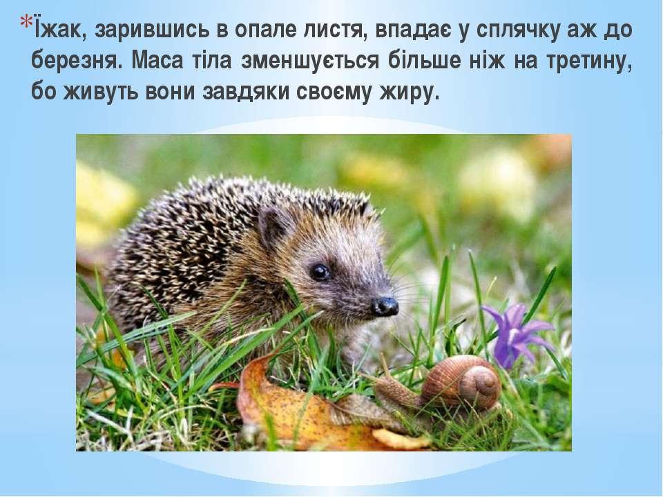 Їжак, зарившись в опале листя, впадає у сплячку аж до березня. Маса тіла змен...