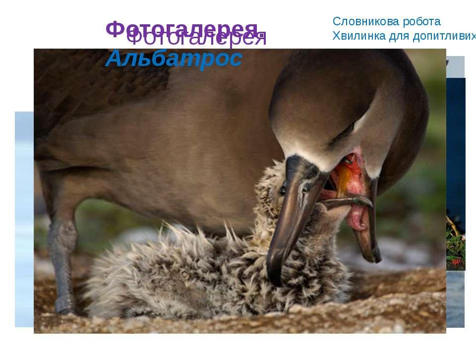 Словникова робота Хвилинка для допитливих Альбатрос – великий красивий птах. ...
