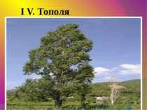 I V. Тополя