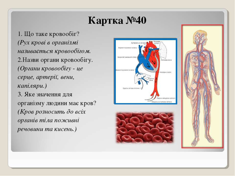 Картка №40 1. Що таке кровообіг? (Рух крові в організмі називається кровообіг...