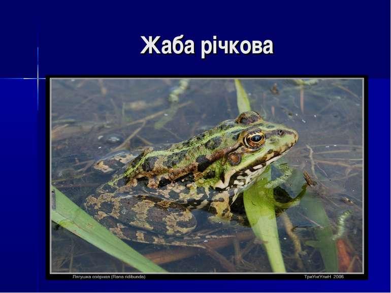 Жаба річкова