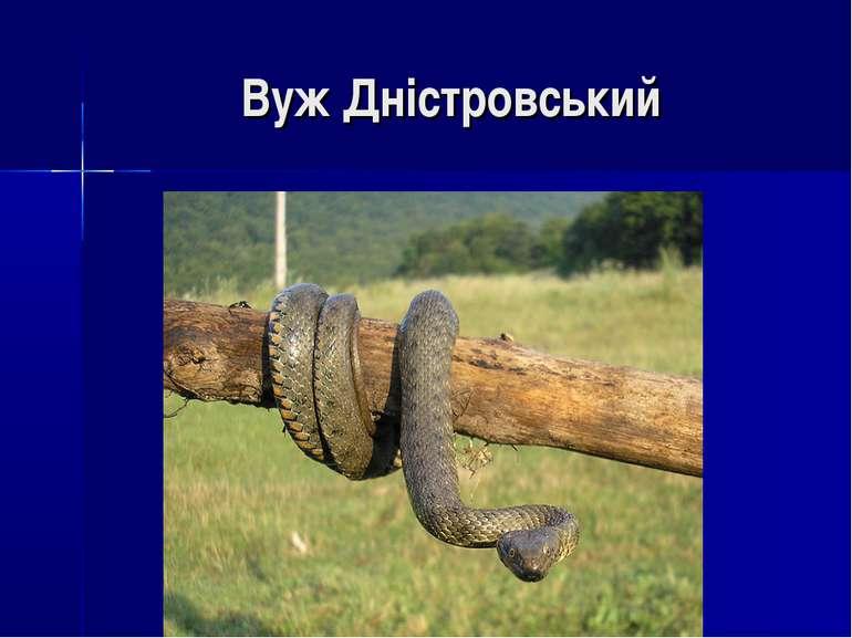 Вуж Дністровський