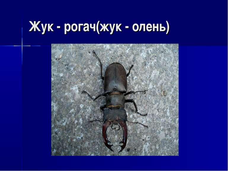 Жук - рогач(жук - олень)