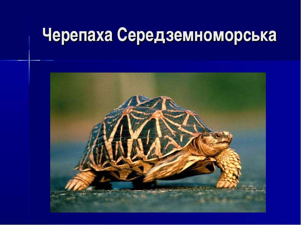 Черепаха Середземноморська