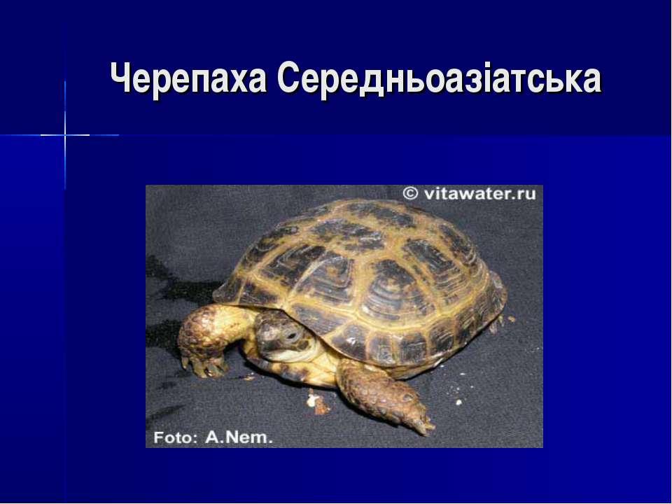 Черепаха Середньоазіатська