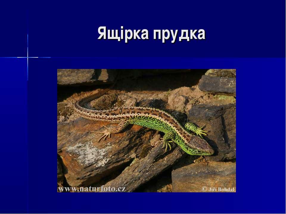 Ящірка прудка