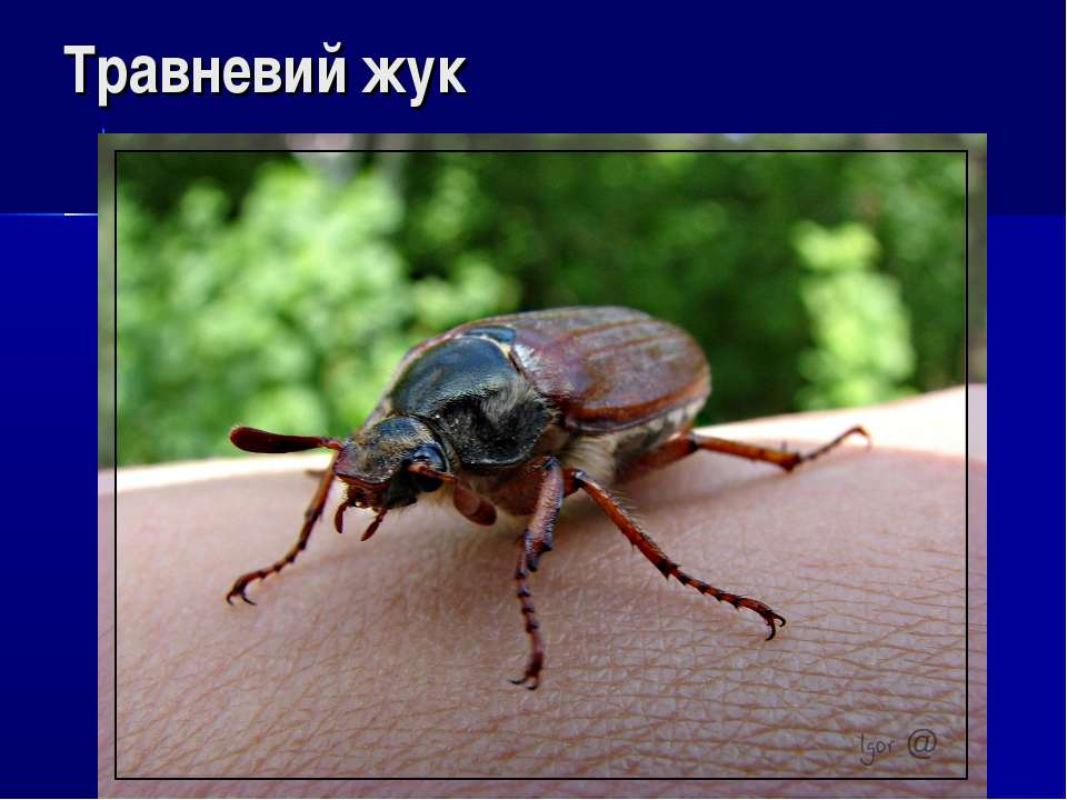 Травневий жук