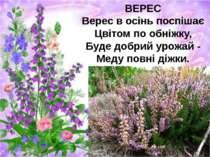 ВЕРЕС Верес в осінь поспішає Цвітом по обніжку, Буде добрий урожай - Меду пов...