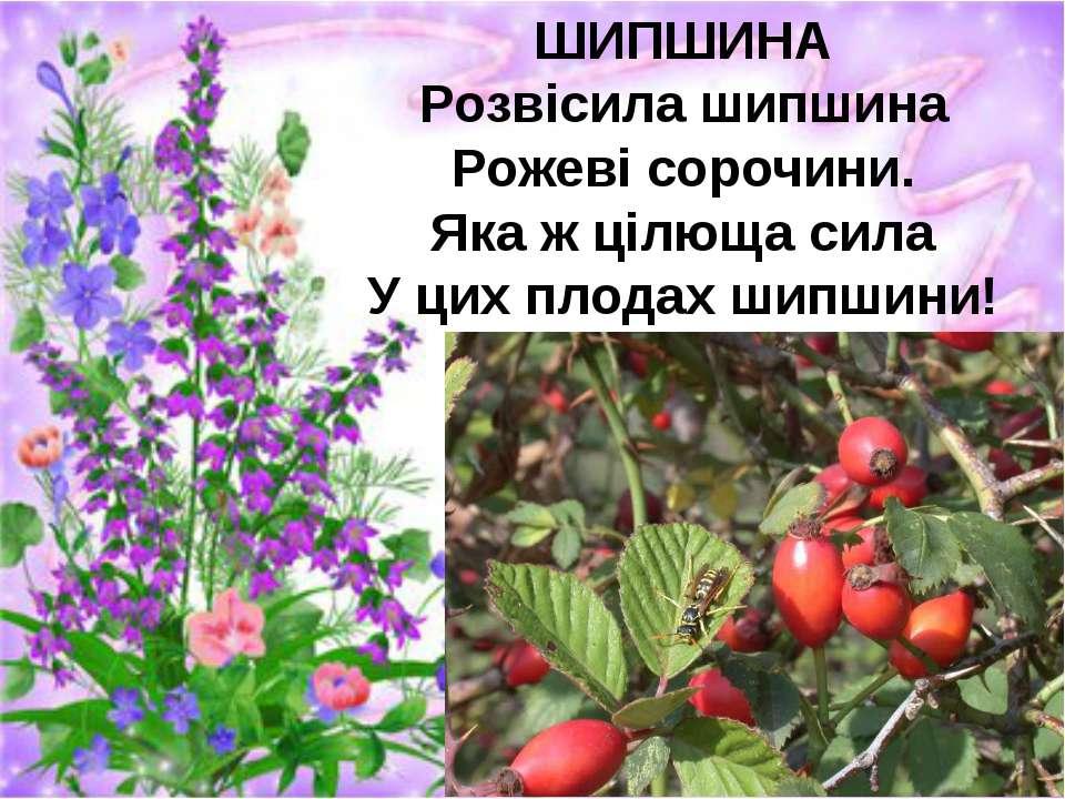 ШИПШИНА Розвісила шипшина Рожеві сорочини. Яка ж цілюща сила У цих плодах шип...