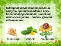 пшениця огірок соняшник Однорічні трав'янисті рослини живуть протягом одного ...