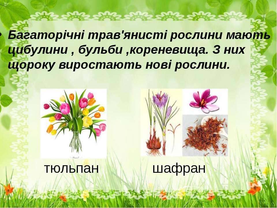 тюльпан шафран Багаторічні трав'янисті рослини мають цибулини , бульби ,корен...
