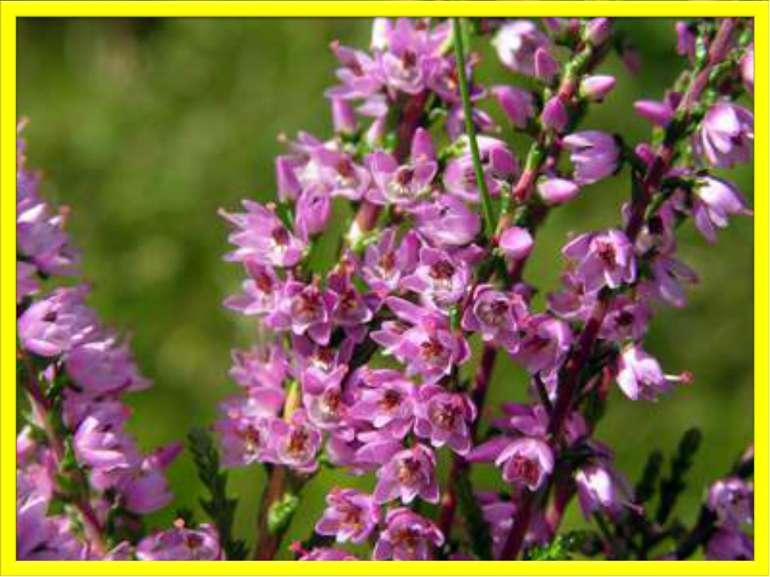 Робота з малюнком (Буквар, с. 39.) Ці квіти називаються — верес. Подивіться, ...