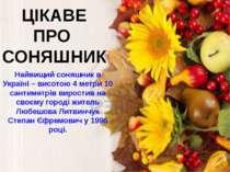 ЦІКАВЕ ПРО СОНЯШНИК Найвищий соняшник в Україні – висотою 4 метри 10 сантимет...