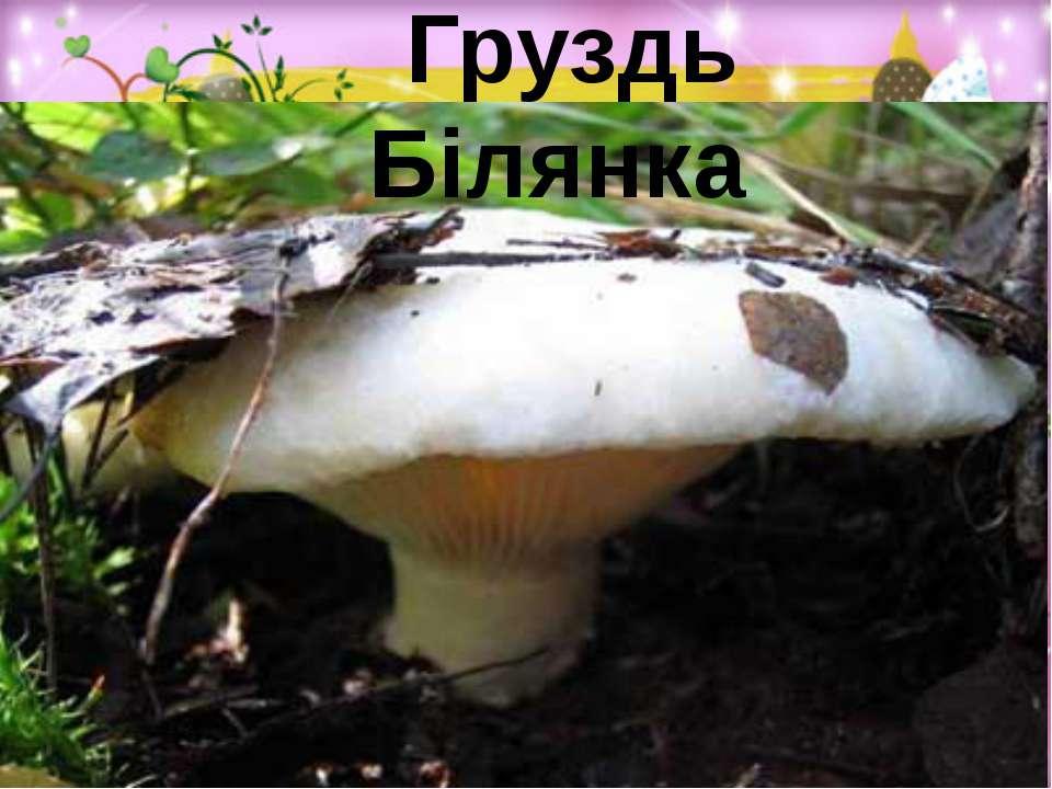 Груздь Білянка