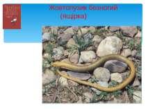 Жовтопузик безногий (ящірка)