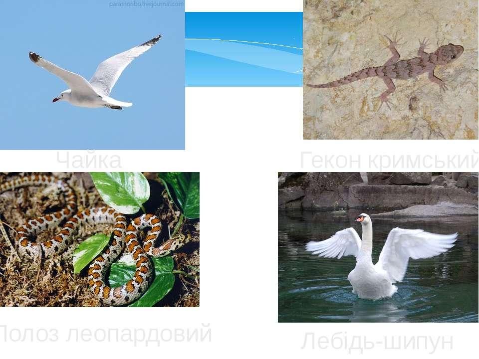 Чайка Гекон кримський Полоз леопардовий Лебідь-шипун