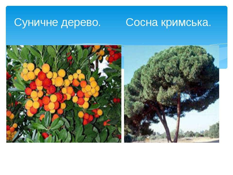 Суничне дерево. Сосна кримська.