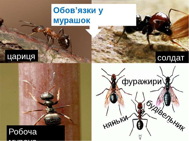 цариця солдат Робоча мураха фуражири няньки будівельники фуражири няньки буді...