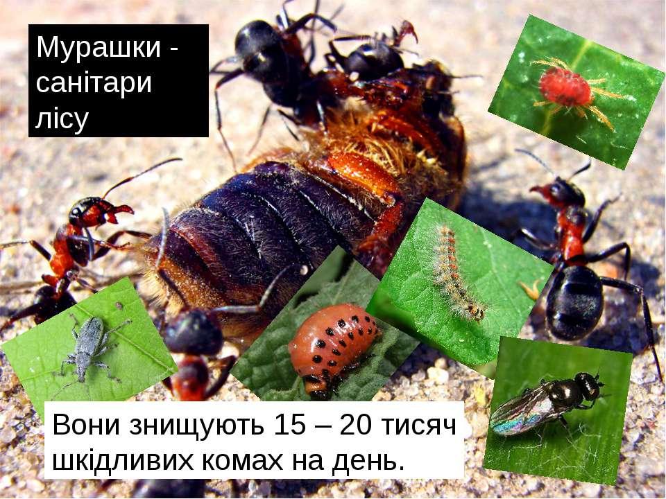 Мурашки - санітари лісу Вони знищують 15 – 20 тисяч шкідливих комах на день.