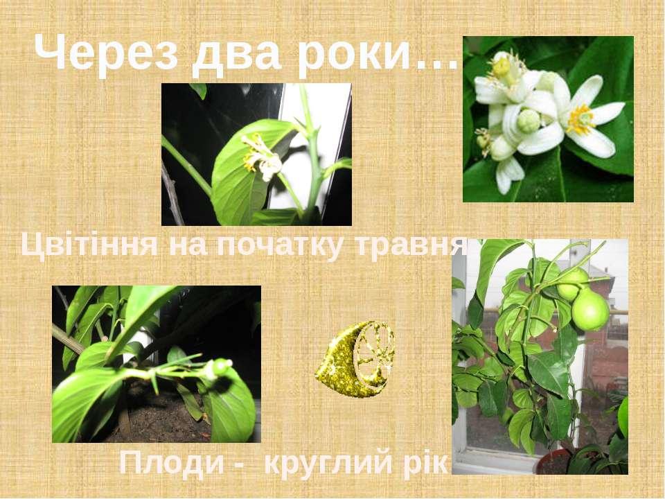 Цвітіння на початку травня Через два роки… Плоди - круглий рік