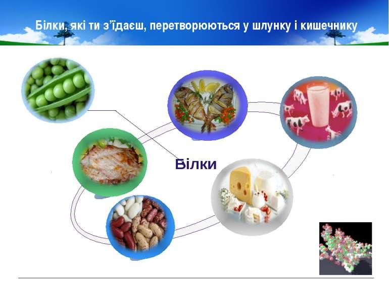 Білки, які ти з'їдаєш, перетворюються у шлунку і кишечнику