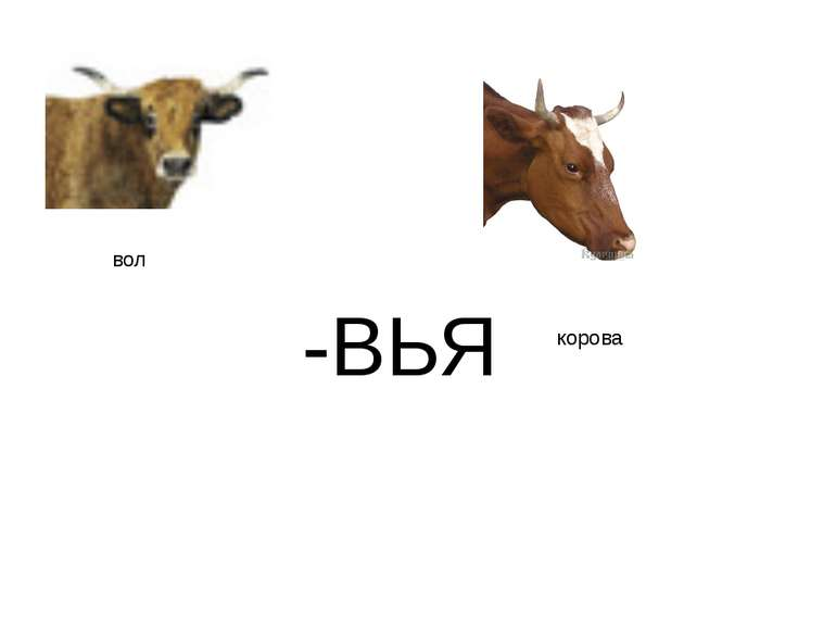 -ВЬЯ вол корова