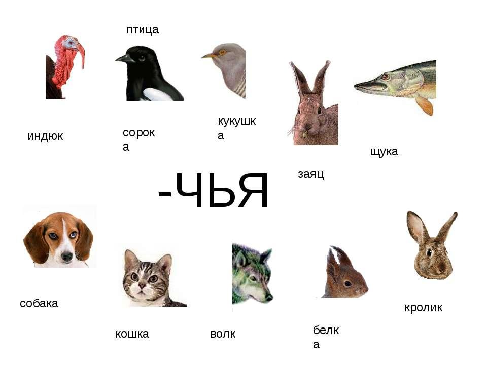 -ЧЬЯ индюк сорока кукушка птица щука собака кошка волк белка кролик заяц