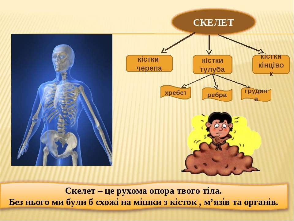 кістки черепа кістки тулуба кістки кінцівок хребет ребра грудина