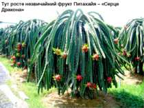 Тут росте незвичайний фрукт Питахайя – «Серце Дракона»