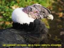 Це єдиний материк, де в горах живуть кондори