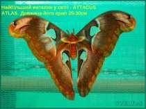 Найбільший метелик у світі - АTTACUS ATLAS. Довжина його крил 25-30см