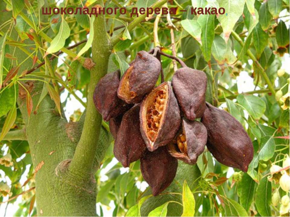 шоколадного дерева – какао,